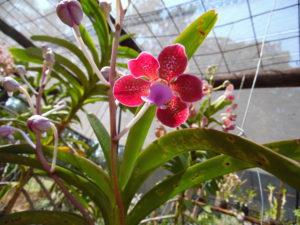 lady-virginnia-orchid