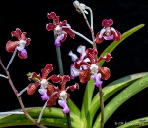 whole-orchid